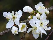 8th Mar 2021 - Blackthorn Blossom