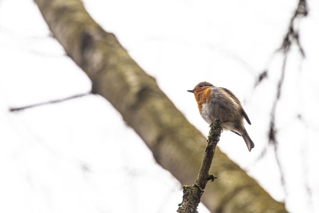 Robin by seanoneill