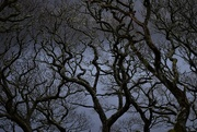 8th Mar 2021 - Inverlonan oaks