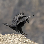 8th Mar 2021 - Dancing Crow