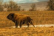 8th Mar 2021 - Bison