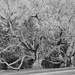 Very old Black Walnut tree B&W