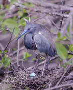 8th Mar 2021 - Tricolor Heron on nest with egg.