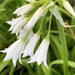 Wild white onion flowers