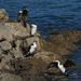 And then there were five - as a young pied shag lands