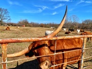 """9th Mar 2021 - Can we just say this Longhorn's fur is """"burnt orange""""?"""