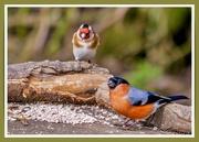 9th Mar 2021 - Bullfinch and Goldfinch