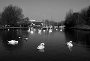 7th Mar 2021 - CANAL SWANS