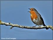 9th Mar 2021 - Singing robin