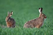 9th Mar 2021 - Hare pair
