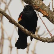 9th Mar 2021 - red-winged blackbird