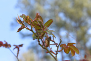 9th Mar 2021 - Rose leaves and pine trees