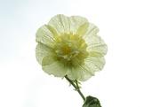 10th Mar 2021 - Hollyhock flower