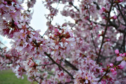 10th Mar 2021 - Redbud flowers