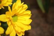 10th Mar 2021 - Yellow daisy