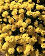 10th Mar 2021 - Sunny yellow chrysanthemums