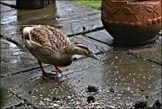10th Mar 2021 - Daisy duck