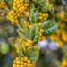 Yellowjacket American Holly by kvphoto