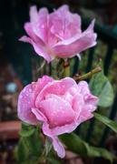 10th Mar 2021 - Wet Rose