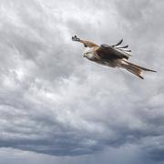 10th Mar 2021 -  red kite in flight