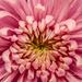Pink Flower Macro by pej2