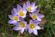 11th Mar 2021 - crocuses