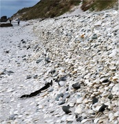 11th Mar 2021 - 11 Shell collecting Chathams style