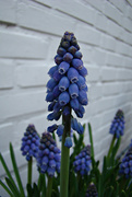 12th Mar 2021 - grape hyacinth