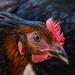 The Black Bird on 365 Project