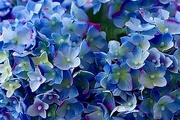12th Mar 2021 - Hydrangea Blue