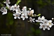 12th Mar 2021 - Beautiful blossom