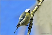 12th Mar 2021 - Little blue tit