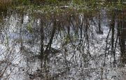 12th Mar 2021 - Reflections in the pond