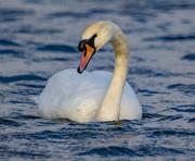 12th Mar 2021 - Mute Swan