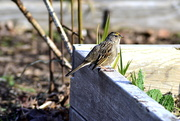 21st Feb 2021 - Young Golden-Crowned Sparrow?