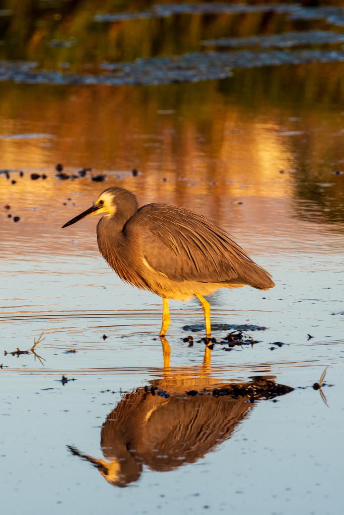 Heron at sunrise by yorkshirekiwi