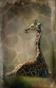 13th Mar 2021 - Baby giraffe