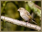 13th Mar 2021 - Greenfinch (female)