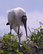 12th Mar 2021 - Woodstorks with babies
