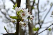13th Mar 2021 - Bradford pear flowers