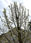 13th Mar 2021 - Bradford pear tree