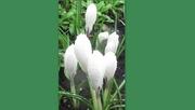 13th Mar 2021 - Rain on white snowdrops.