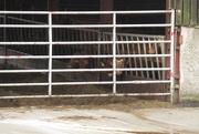 13th Mar 2021 - calves