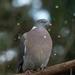 Hail Pigeon