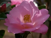14th Mar 2021 - My favorite camellia...