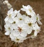 13th Mar 2021 - Pear blooms...