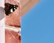 14th Mar 2021 - Moth or butterfly..