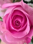 14th Mar 2021 - Pink Rose