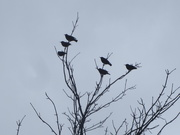 14th Mar 2021 - Six Starlings on Mother's Day walk.