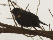 10th Mar 2021 - red-winged blackbird